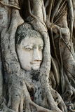 Head of Buddha Statue with the Tree Roots  at Wat Mahathat, histo Stock Image