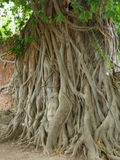 The Head of Buddha statue in the tree roots, Wat Mahathat temple. Ayutthaya Historical Park, Thailand Royalty Free Stock Images