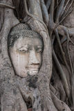 Head of Buddha statue in the tree roots Royalty Free Stock Photography