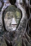 Head of Buddha in tree root Royalty Free Stock Photo