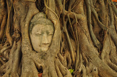 Head buddha. Buddha head in the tree roots Stock Image
