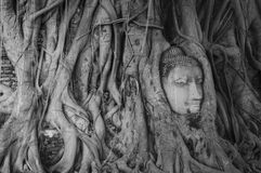 Head of Buddha in tree roots Stock Photo