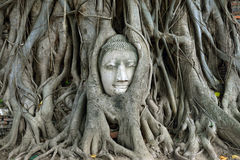 The head of Buddha in tree roots Royalty Free Stock Photo