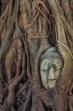 Head buddha in the tree Stock Photos