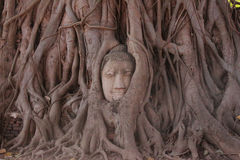 Head buddha in tree at thailand. 1 Stock Photos