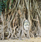 Head of Buddha in a tree trunk Stock Image