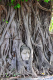 Head of Buddha, with tree trunk and roots growing around it at W. At Mahathat, Ayutthaya. Public temple Thailand Royalty Free Stock Images