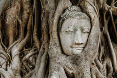Head of Buddha in a tree trunk Stock Photos