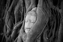 Head of Buddha under a fig tree in Ayutthaya Royalty Free Stock Images