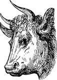 Head of bull Stock Images