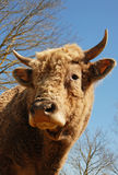 Head of bull Stock Photo