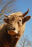 Head of bull Stock Photo