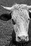 Head bull  in black and white. Royalty Free Stock Image