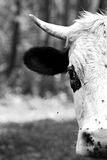 Head bull  in black and white. Royalty Free Stock Images