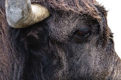 Head of the bull Stock Photography