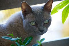 Head of Burmese Cat Royalty Free Stock Photography