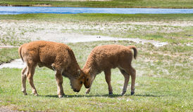 Head Butt. Two baby bison butting heads in a playful way. Photographed in a grassy meadow in Yellowstone National Park Stock Image