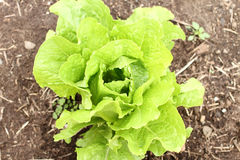Head of butterleaf lettuce. Growing in a garden Royalty Free Stock Image
