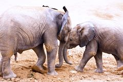 Head butting Elephants. Pair of young elephants head butting each other Royalty Free Stock Photography