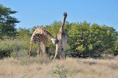 Two head butting Giraffes. Head butting Giraffes in the Etosha National Park, Namibia Stock Photos