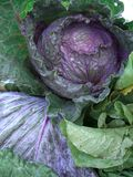 Head of Cabbage. Cabbage at market Royalty Free Stock Photos