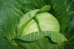 Head of cabbage. Fresh green head of cabbage can be used as background Stock Photography