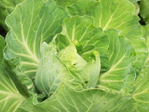 Head of cabbage. It is white a head of cabbage on a bed after a rain. All is covered by water drops Stock Images