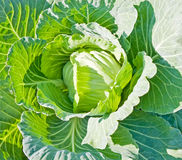 Head Cabbage background Stock Photography