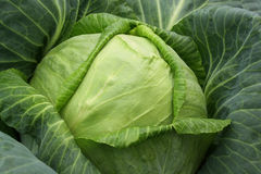 Head of cabbage close up. In kitchen garden Stock Images