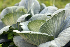 Head of cabbage close-up. Big green cabbage closeup in the garden Stock Photo