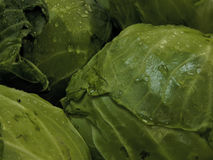 Head of cabbage with drops of water Royalty Free Stock Image