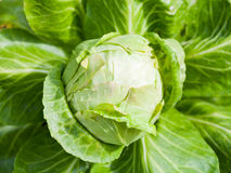 Head of cabbage at garden bed Royalty Free Stock Image