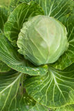 Head of cabbage in the garden Royalty Free Stock Images