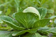Head of cabbage growing in the garden Royalty Free Stock Images