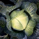 Head of cabbage. Cabbage with green leaves in the garden view from the top Stock Photography