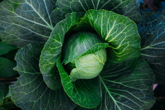Head of cabbage of mature cabbage on a bed. Ripen in the garden cabbage with dew in the early morning Stock Image