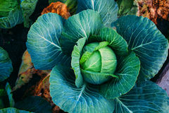 Head of cabbage of mature cabbage on a bed. Ripen in the garden cabbage with dew in the early morning Stock Images