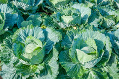 Head of cabbage in the vegetable garden Stock Image