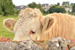 Head of the calf. Against a pasture Stock Image