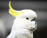 Head of a Calm and Relaxed Sulphur-Crested Cockatoo Stock Image