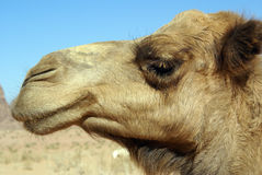 Head of camel Stock Photography
