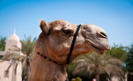 Head of a camel Stock Photography