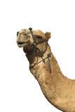 Head of a camel. Royalty Free Stock Image