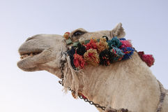 The head of a camel. Decorated against the sky Stock Images
