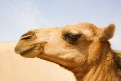 Head of camel. The camel on the Sahara, Moroccol Stock Photo