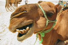 Head of camel. Head of  camel with teeth, close Stock Photos