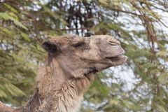 Head of camel against the background  of green tree branches. Head of camel against the background of green tree branches Royalty Free Stock Image