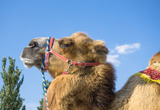 Head of camel. Against blue sky Stock Photography