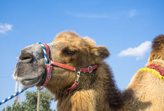 Head of camel. Against blue sky Royalty Free Stock Images