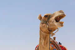 Head of camel. Against blue sky Royalty Free Stock Photography